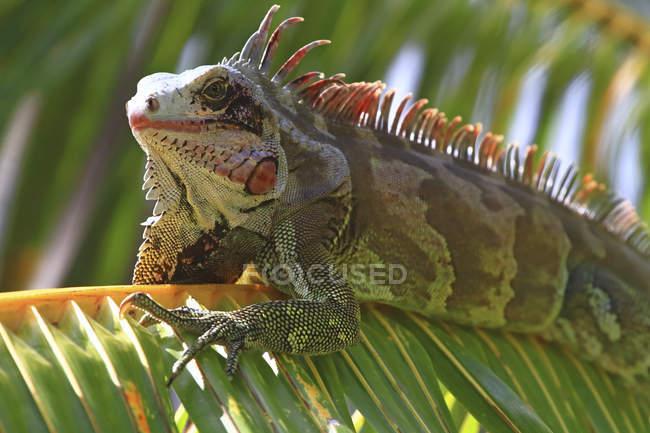 Venezuela, Margarita Island, close-up of iguana perching on branch — Stock Photo