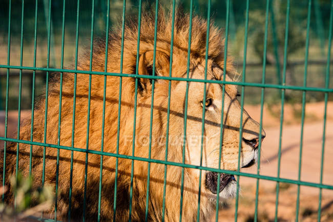 Close-up of of captive lion looking away in cage — стоковое фото