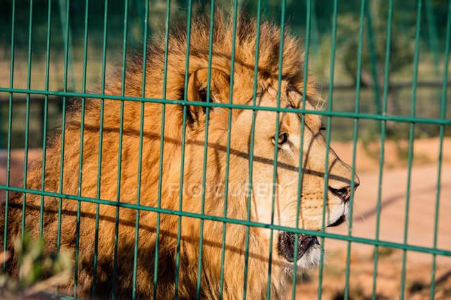 Plan rapproché du lion captif regardant loin dans la cage — Photo de stock