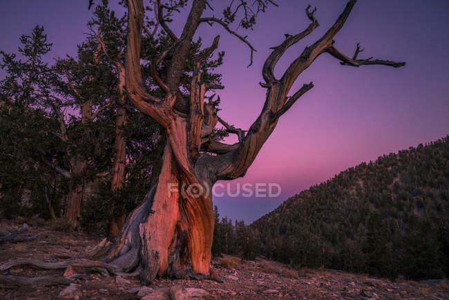 Старі дерева під драматичним небом на заході сонця, древній Bristlecone сосновий ліс, Inyo Національний ліс, Каліфорнія, США — стокове фото