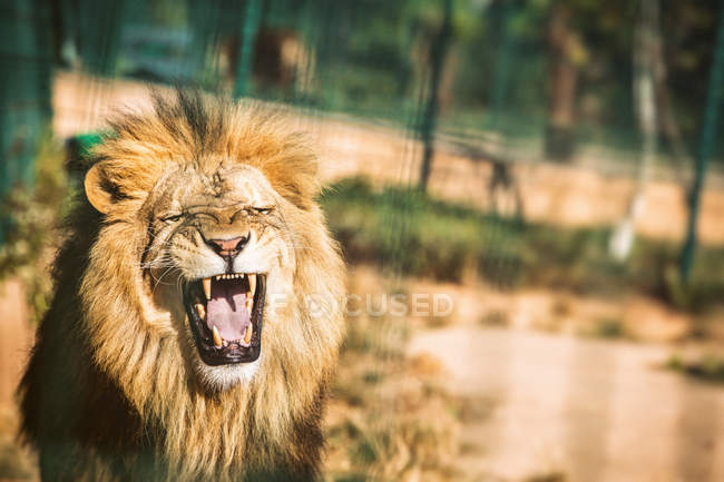 Close-up of roaring lion in captivity on blurred background — Foto stock