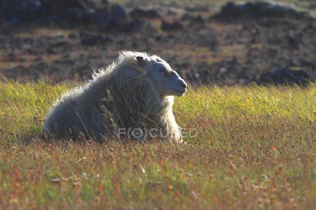 Исландия, Судурланд. Овцы над зеленой травой — стоковое фото