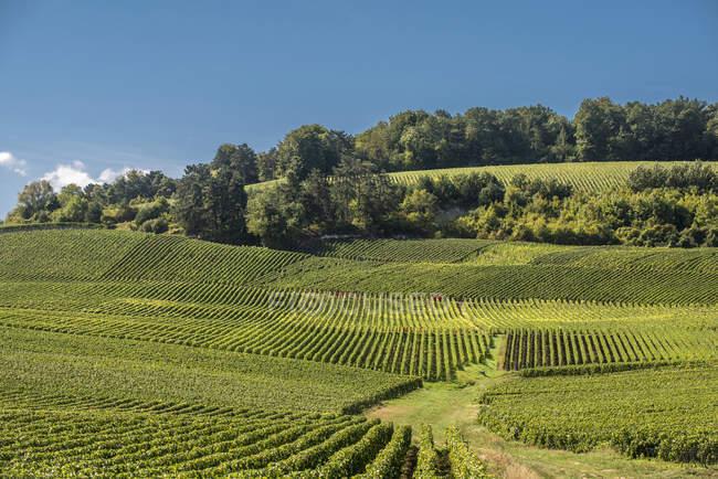Vigneto Champagne in Ecueil, Montagne de Reims, Francia — Foto stock