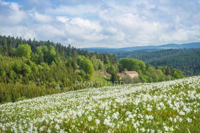 France, Auvergne-Rhônes-Alpes, Haute-Loire, prairies fleuries de Saint-Bonnet-le-Froid au printemps — Photo de stock