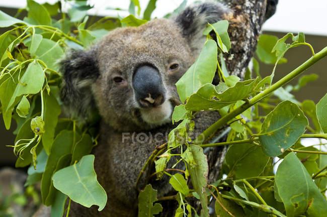 Ocanie, australie, sydney, zoo de taronga, Nahaufnahme von Koala, der auf einem Baum sitzt und in die Kamera schaut — Stockfoto