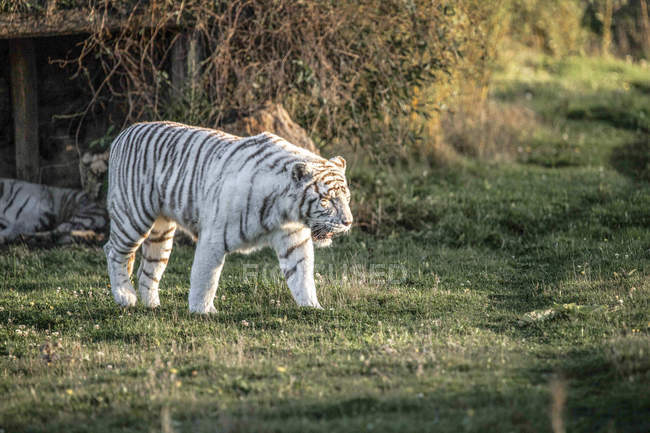 White tiger walking on green grass in captivity — Photo de stock