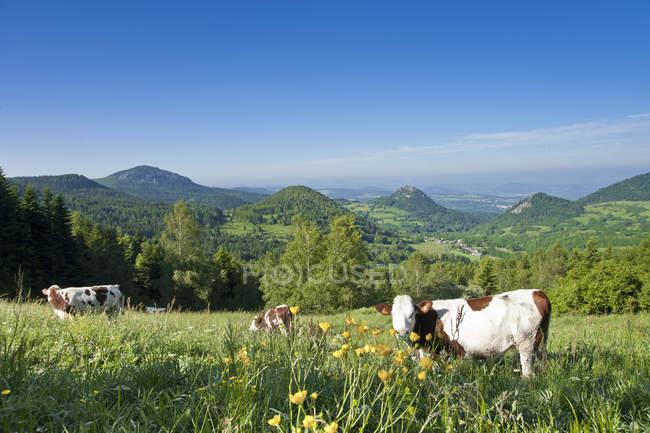 Франция, Оверни-Ронс-Альпы, Верхняя Луар, Сукс дю Мейгал возле Сен-Джульен-Чаптей. Коровы пасутся над зеленой травой на поле — стоковое фото