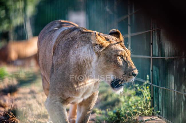 Plan rapproché de lionne captive marchant dans la cage — Photo de stock