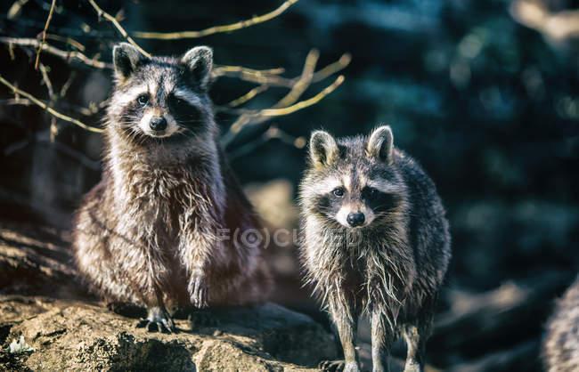 Plan rapproché de deux ratons laveurs perchés sur la branche d'arbre — Photo de stock