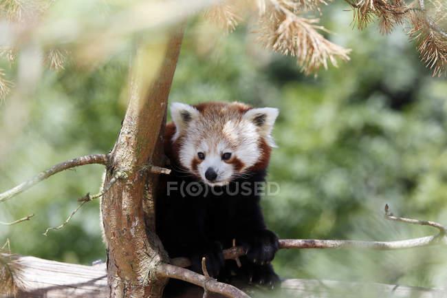 Chine, province du Yunnan, panda rouge Russe (Ailurus fulgens) assis sur l'arbre — Photo de stock