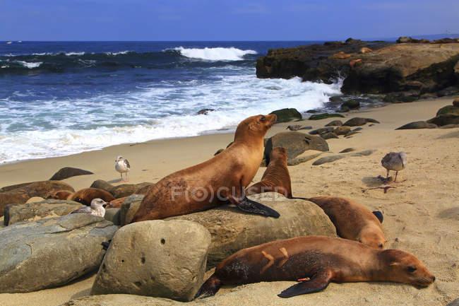 Usa, Californie, La Jolla Cove, phoques reposant sur des roches sur la plage sablonneuse — Photo de stock