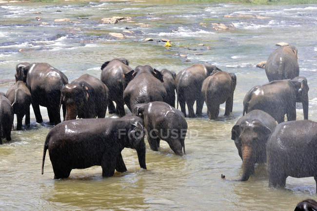 Sri Lanka, Sigiriya, Elephants bathing in river in orphanage — Stockfoto