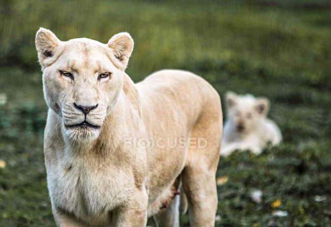 Plan rapproché du lion blanc femelle regardant l'appareil-photo sur le fond brouillé — Photo de stock