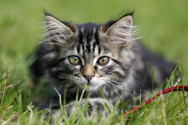 Tabby Norwegian kitten lying in grass and looking at camera — Stock Photo
