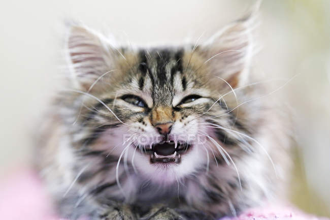 Norwegian forest cat meowing and showing teeth — Stock Photo
