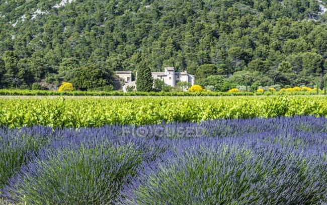 Лавандовое поле и виноградник весной, Франция, Дром, Региональный парк провинции Баронни, Вентерол — стоковое фото