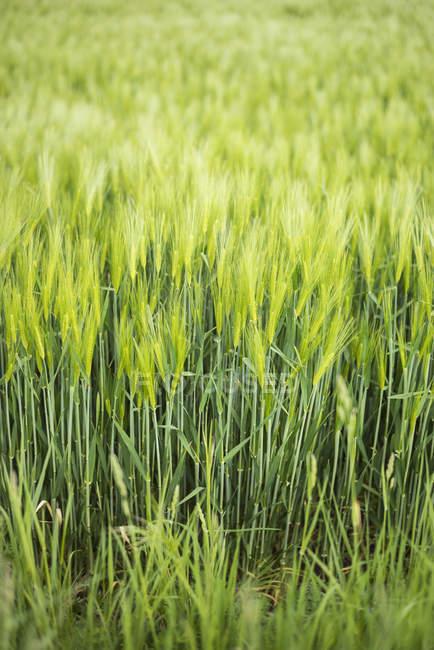 Campi di cereali, Normandia, Francia — Foto stock