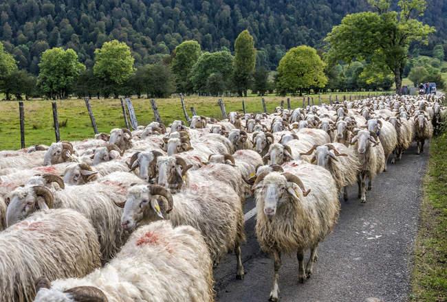 Schafherde, Frankreich, Nationalpark der Pyrenäen — Stockfoto