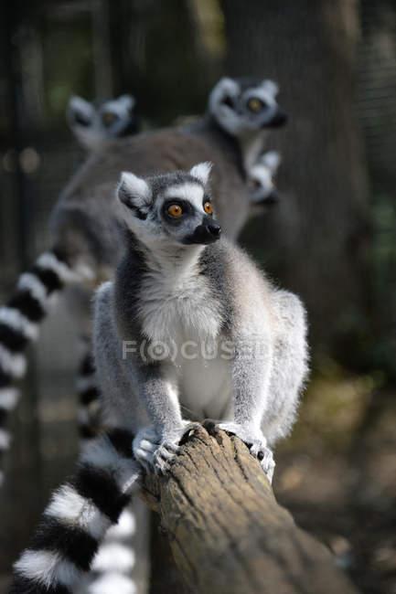 Maki Lemuren Gruppe, Frankreich, Dordogne, Calviac Zoo — Stockfoto