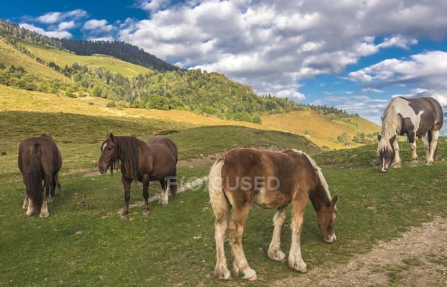 Коні на лузі, Франція, Національний парк Піренеїв — стокове фото