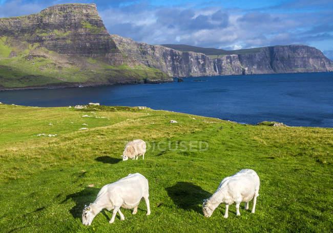 Вівці на полі, Європа, Великобританія, Шотландія — стокове фото
