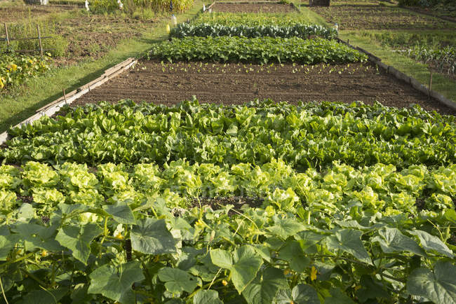 Green vegetables growing in garden in L'Aigle, Orne, Normandy, France — стокове фото