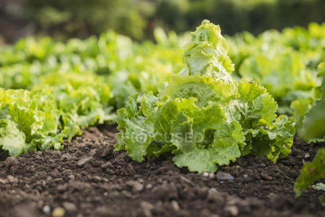 Salade verte, recette sélective — Photo de stock