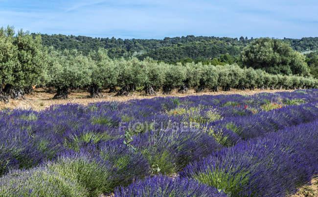 Лавандовий польовий і оливковий Гай навесні, Франції, Дром, регіональний парк Баронні provencales, Venterol — стокове фото