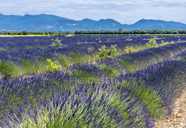 Цветущее лавандовое поле весной, Франция, Дром, Региональный парк провинции Баронни, Вентерол — стоковое фото