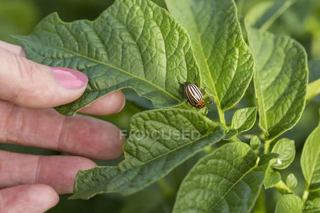Main féminine avec feuilles vertes et punaise — Photo de stock