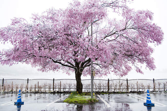 Цвітіння вишневого дерева біля озера Кавагучіко (Японія). — стокове фото