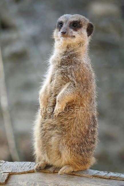 Le gros plan du meerkat, point de mire sélectif — Photo de stock