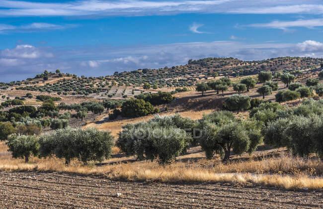 España, Comunidad Autónoma de Madrid, Provincia de Madrid, olivos en el campo alrededor de Chinchon. - foto de stock