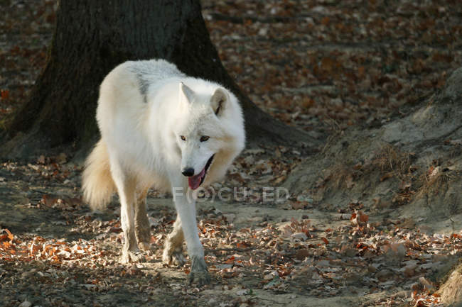 Арктический волк, селективный фокус — стоковое фото