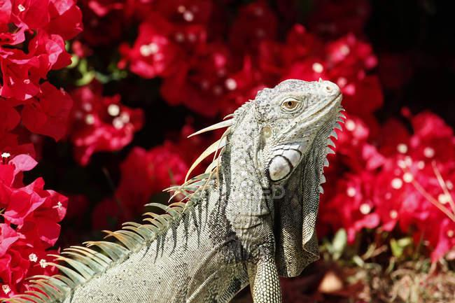 Close-up of iguana against flowers at Florida, USA — Stock Photo