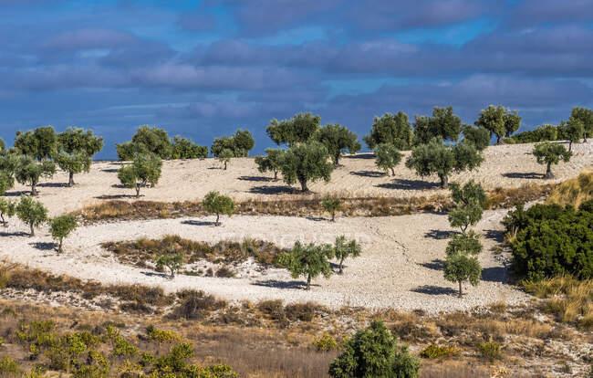 Испания, феодальная община Мадрида, Прованс Мадрида, оливковые деревья в сельской местности вокруг Чинчона — стоковое фото