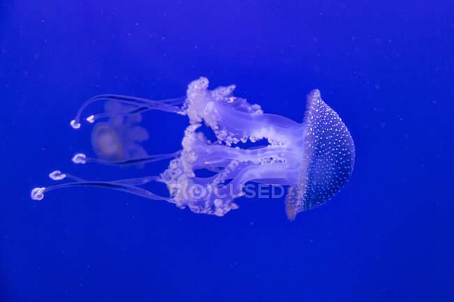 Méduses en eau bleue — Photo de stock