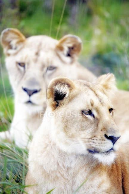 Крупным планом двух львов, избирательный фокус — стоковое фото