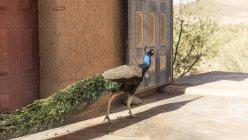 Pavo real caminando en el patio del hotel oasis de Agdz, Marruecos - foto de stock