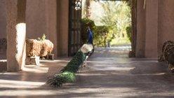 Павич прогулянки у дворі oasis hotel Agdz, Марокко — стокове фото
