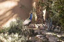 Pavo real caminando en el jardín del hotel oasis de Agdz, Marruecos - foto de stock