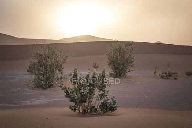 Végétation dans les dunes au coucher du soleil dans le Sahara désert, Erg Chegaga, Maroc, Afrique du Nord-Ouest — Photo de stock