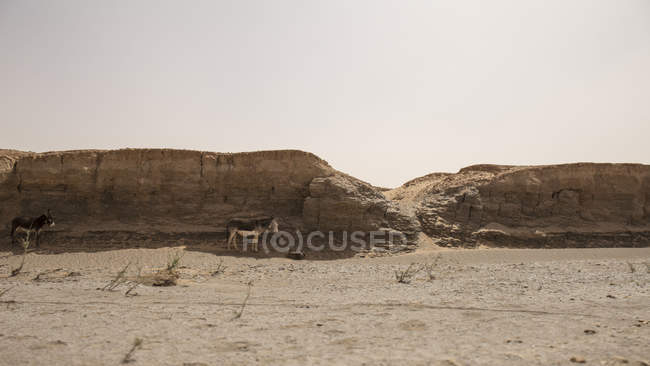 Two donkeys looking for shade in hot Sahara desert, Erg Chigaga, Morocco — Stock Photo