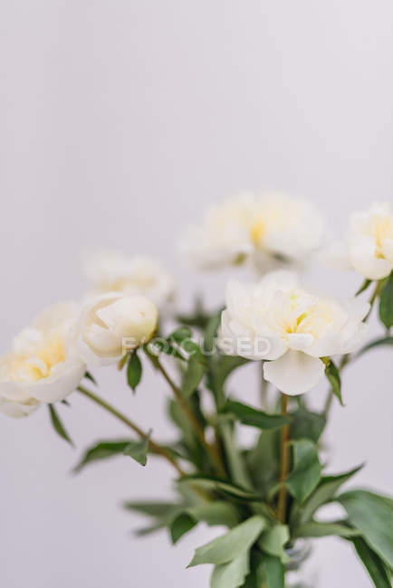 Bouquet of fresh white peonies on grey background — Stock Photo