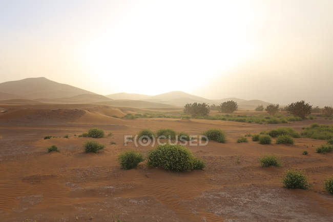 Sunrise scenery with vegetation in Sahara desert, Erg Chigaga, Morocco — Stock Photo