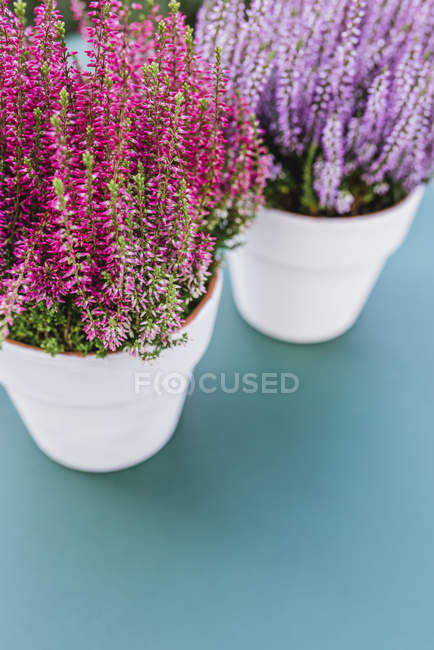 Flowerpots of heather in two different colors — Stock Photo