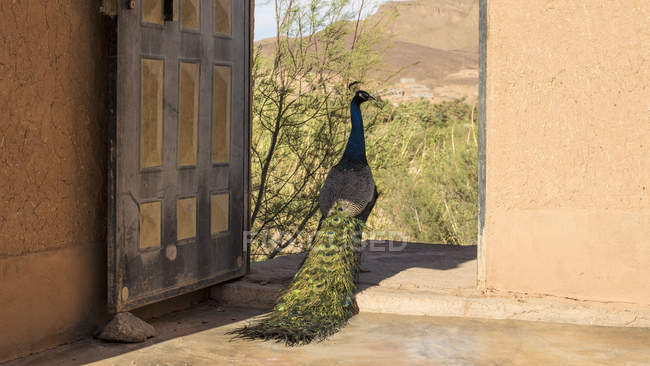 Peacock walking in yard of oasis hotel of Agdz, Morocco — Stock Photo