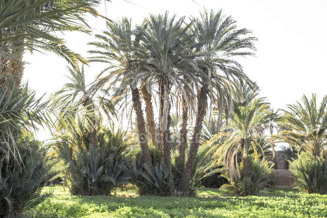 Palm trees and green vegetation in Agdz, Morocco — Stock Photo