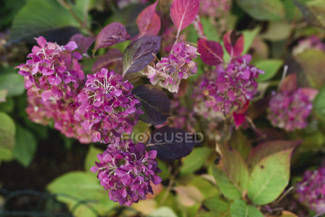 Garden pink hydrangea flowers blossoming in bush, close-up — Stock Photo