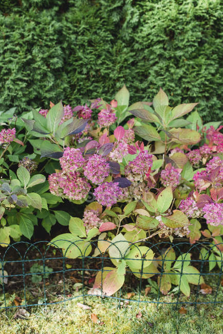 Pink hydrangea flowers blooming in garden — Stock Photo